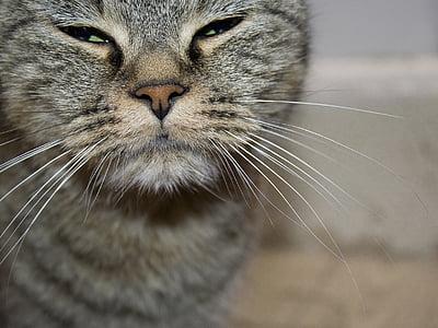 cat, animal, pet, portrait of cat, cat nose, domestic cat