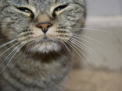 gato, animal, mascota, Retrato de gato, nariz de gato, gato doméstico