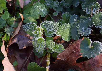 frost on leaves, spring frost, leaf, foliage, plant, nature, agriculture