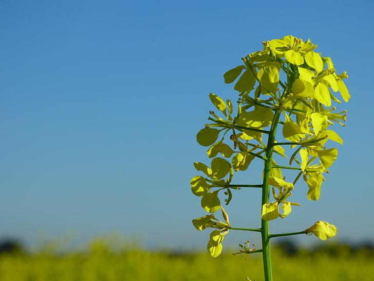 horčica, horčica pole, hnojivo, poľnohospodárstvo, žltá, kvet, kvet