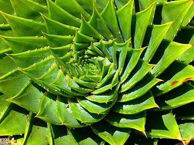 Aloe, sočan, Aloe polyphylla, spiralaloe, lišće, spirala, biljka