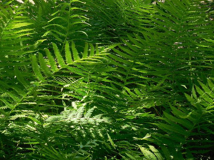 Fern, plant, natuur, Bladeren, bos, Botanic, groen