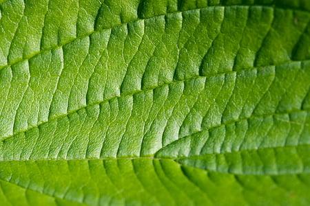 fulla, verd, macro, estructura, textura, natura, planta