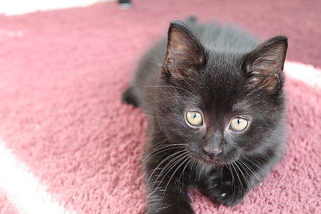 子猫, ブラック, かわいい, 猫, ペット, 動物, ネコ科の動物