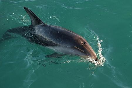 cá heo mướt, bơi lội, Đại dương, tôi à?, động vật có vú, bề mặt, động vật hoang dã