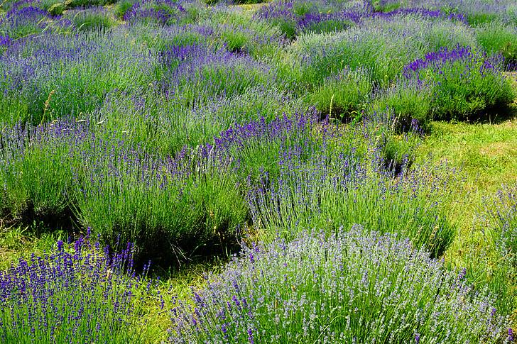 Levanda, Gamta, gėlė, violetinė, žalia, vasaros, sodas