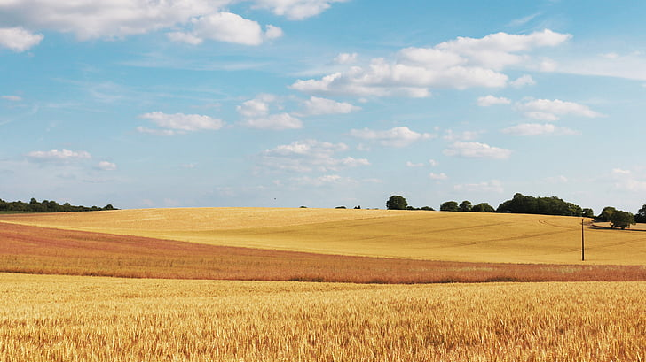 cornfield, wheat fields, field, wheat, agriculture, cereals, cloud