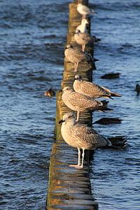 sirályok, Holiday, Beach, tenger, nyári, Balti-tenger, madarak