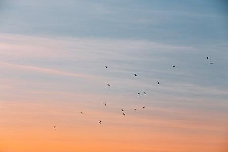 ocells, volant, capvespre, núvol, cel, posta de sol, ocell