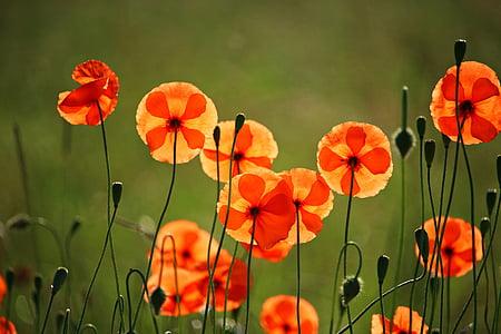 poppy, flower, klatschmohn, poppy flower, blossom, bloom, red poppy