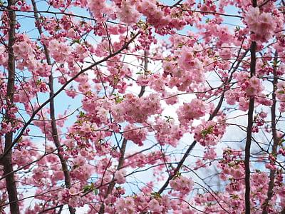 flowers, pink, tree, flower tree, japanese cherry trees, spring, japanese flowering cherry