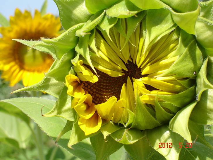 подсолнечник, Ботанический, растения, Семена, Семена подсолнечника, Органические семена подсолнечника, сады