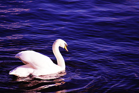 swan, water, blue, white, bird, water bird, feather