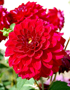 Dahlia, červená, kaštanová/bordó, Příroda, barevné, Barva, květ