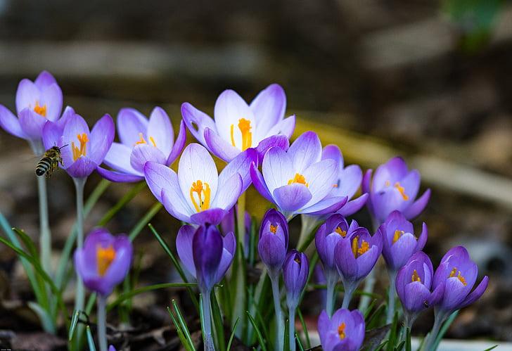 Crocus, kevadel, mesilane, alguses bloomer, frühlingsanfang, lilled, frühlingsblüher