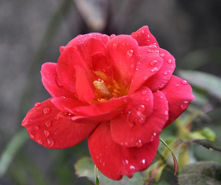 rozes, sarkana, tuvplāns, materiāls, daba, augu, puķe