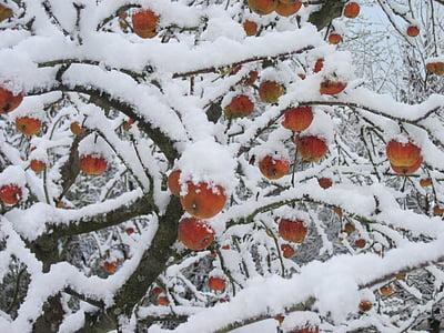 jabloň, sníh, červená, bílá, Zimní, Jablko, Příroda