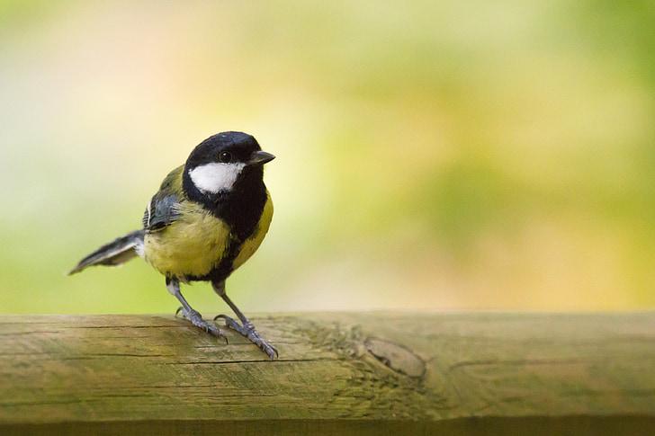 синигер, птица, животни, природата, малки птици, перушина, Сладък