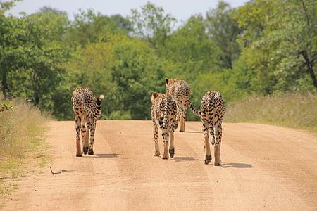 guepard, Parc Nacional Kruger, salvatge, Krueger, vida silvestre, fauna d'animals