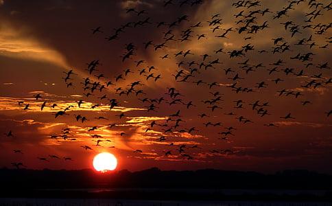 flamencs, eixam, ocells, posta de sol, ocell, natura, capvespre