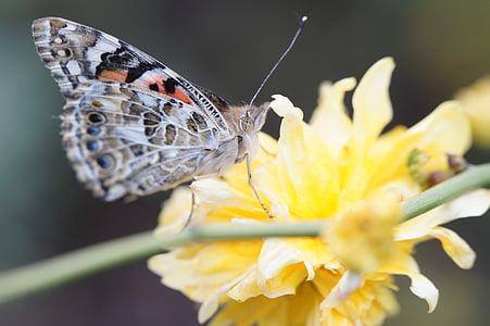 Motyl, Painted lady, Zamknij, kwiat, Bloom, edelfalter, owad