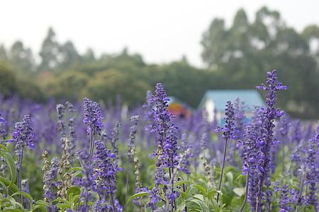 Levanda, violetinės gėlės, violetinė, mažame miestelyje, Europoje