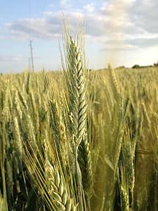 nisu, nisu väli, teravilja, põllumajandus, maastik, tera, nisu spike