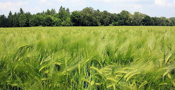 barley field, barley, cereals, field, agriculture, grain, spike