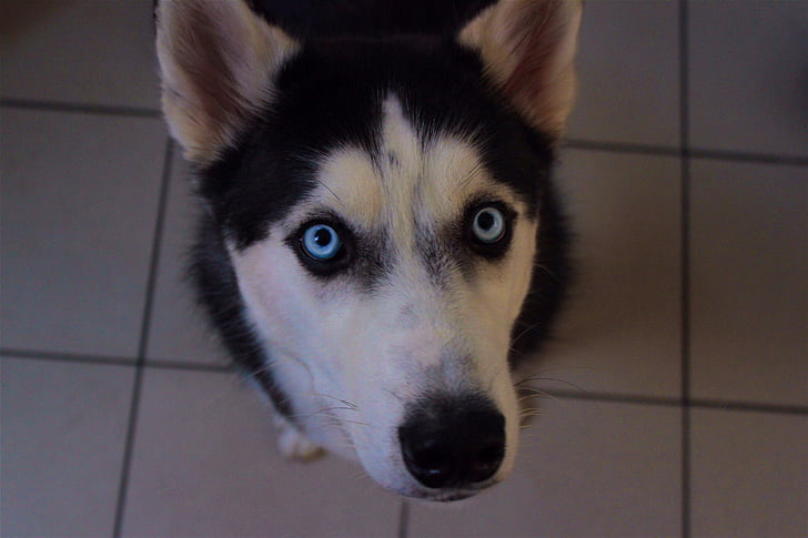 Husky, Siberische, schattig, dier, hond, gezicht, op zoek
