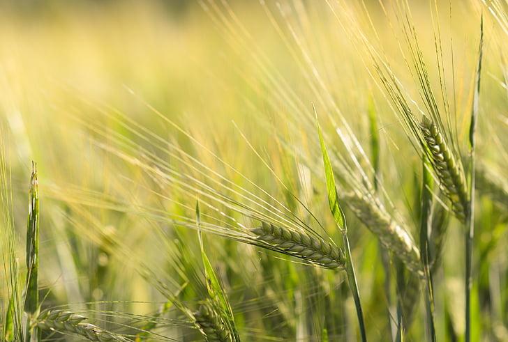 espiga, blat, cereals, gra, camp, camp de blat, camp
