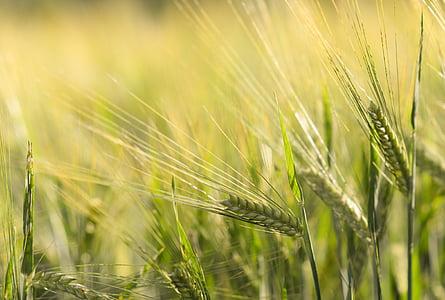 Спайк, пшеница, зърнени култури, зърно, поле, жито поле, царевицата