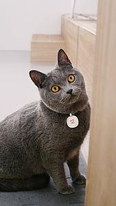 cat mia, blue cat's, pet, domestic Cat, pets, animal, feline
