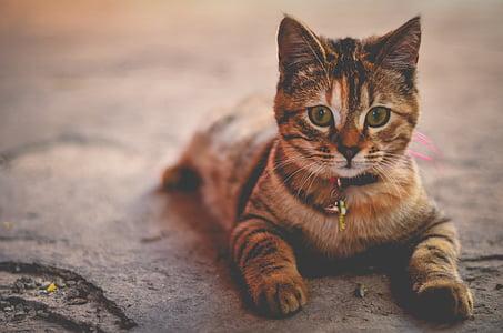 cat, feline, tabby, domestic, animal, pet, cute