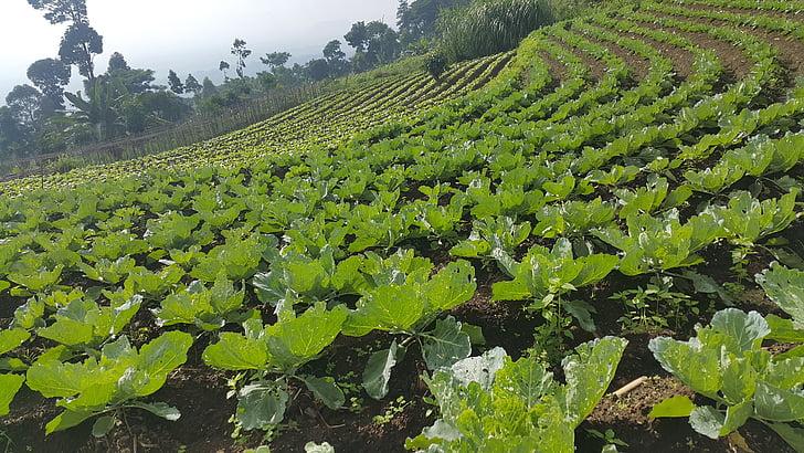 káposzta, zöldség, növényi, mezőgazdaság, minta