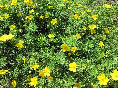shrubby cinquefoil, bush, plant, nature, green, ornamental plants, garden