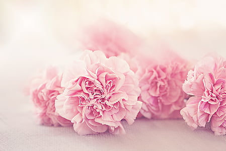 flowers, cloves, petals, pink, pink flower, tender, schnittblume
