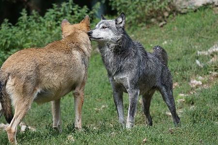 wolf, tense, order of precedence, animal, mammal, carnivore, dog