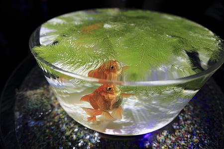 akvarij, riba, Peraja, zdjela, zelena, lišće, Zlatna ribica