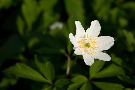 anemone lesa, bela, pomlad, cvet, cvet, makro, cvet