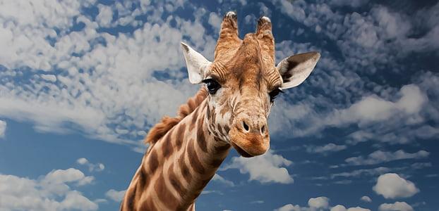 жираф, животните, Смешно, лицето израз, имитират, врата, бозайник
