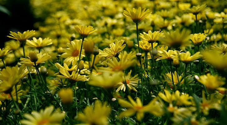 background, beautiful flowers, daisies, flora, flowers, garden, nature