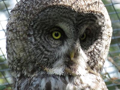 멋진 회색 올빼미, 각자 nebulosa, 올빼미, 새, 동물, 동물원, 깃털