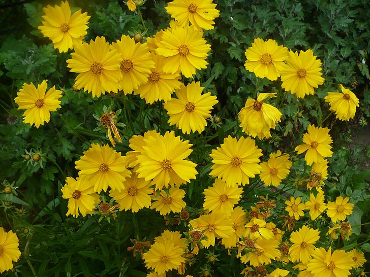 planta del cosmos, groc, flors, flors de primavera, primavera, flors vibrants