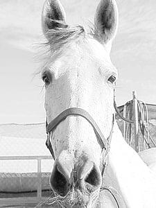 Mare, konj, konjsku glavu, životinja, Konjički sport, vožnja, životinja portret