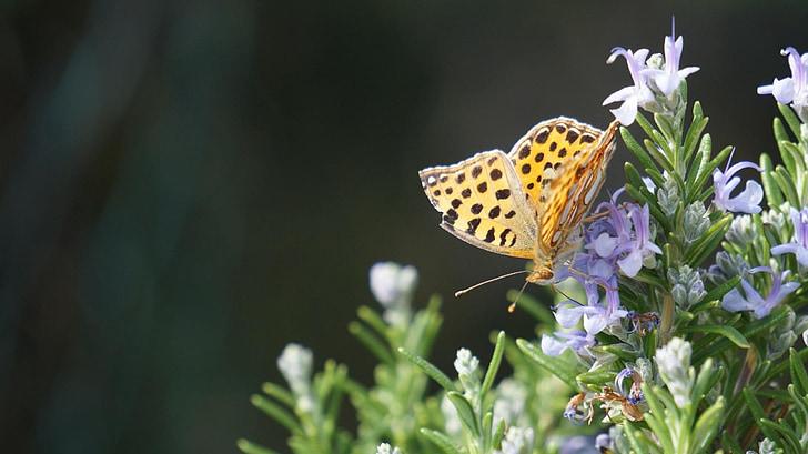 drugelis, Pietų, Gamta, vasaros, gamtos fotografija, vabzdžių, levandų gėlės