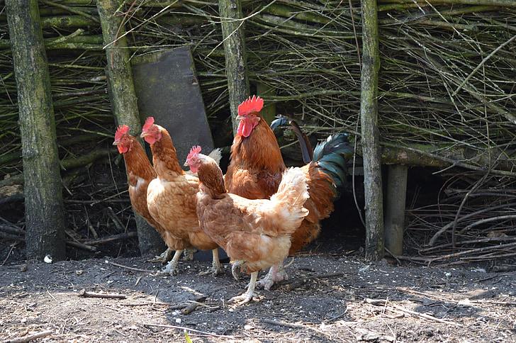 kukko, kana, kanat, siipikarjan, Farm, Luonto