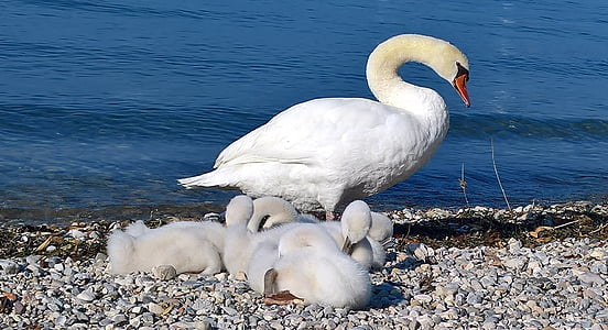 swan, family, swans, young, animal world, swan family, wildlife photography