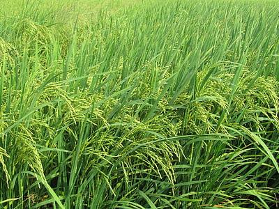 sündmus, neVo, angiang 5, loodus, põllumajandus, talu, koorimata riisi