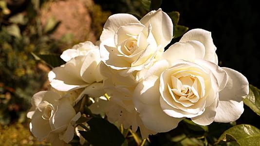 blanc, flor, Rosa, roses blanques