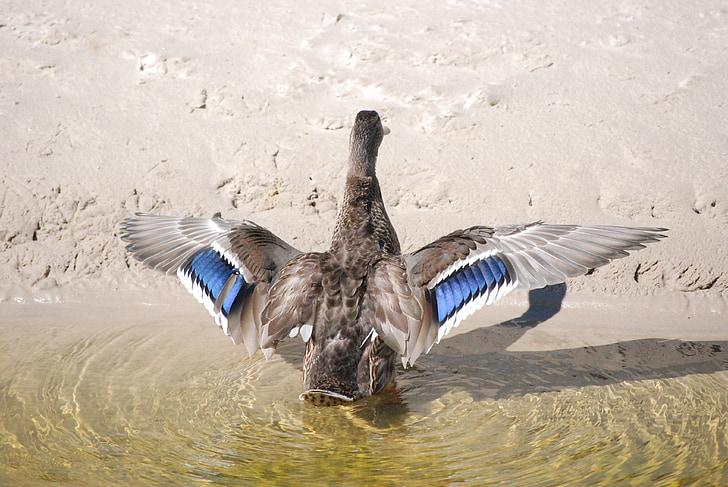 anatra, l'anatra selvatica, uccello, uccelli, uccelli selvatici, natura, acqua